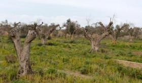 La región Valona detiene la bacteria destructora de los olivos sin pesticida